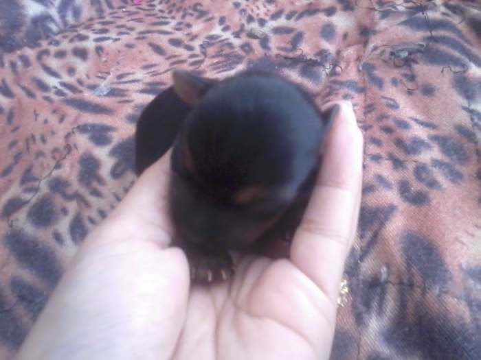 chiots femelle type yorkshire