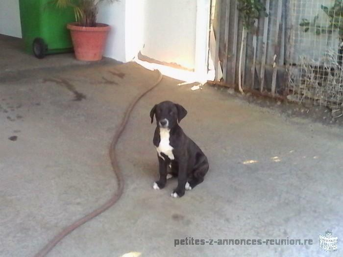 vente chiot femelle cane corso